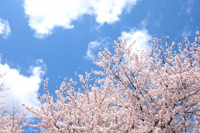 春の訪れ感じる桜